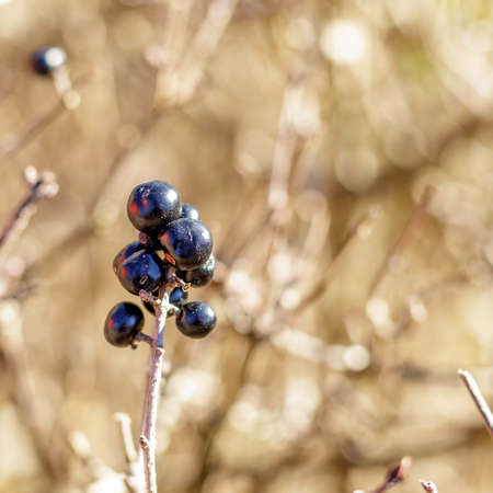 Small mountain berries along the road leading to the Gorg d'Abiss waterfall, Tiarno di Sotto (TN)