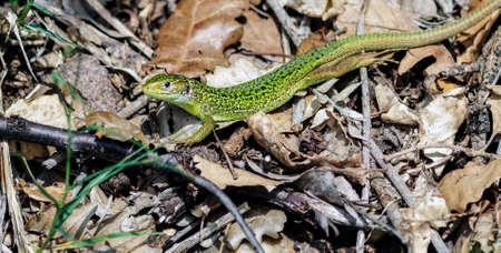 A still green lizard