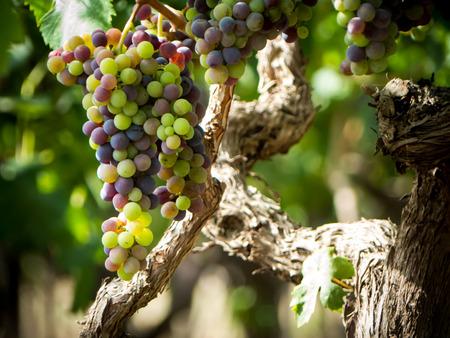 Une plantation de raisin dans un pays italien en juillet Banque d'images - 83074829