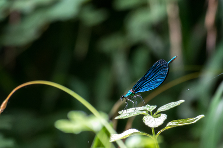 a blue dragonfly on a grass stalk on a blur background