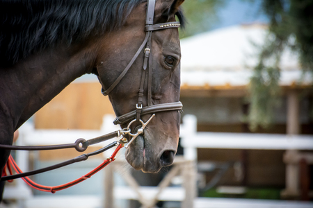 nose close up: close up of the head of a horse with bridle on blur background Stock Photo