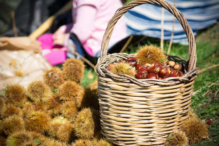 old desk: A wooden basket full of chestnuts during the harvest in autumn on blur baskground Stock Photo