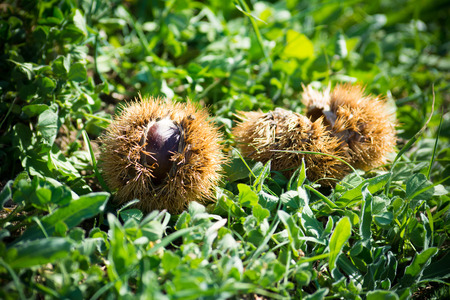 old desk: hedgehogs of chestnut on the ground in the mountains in autumn Stock Photo