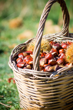 old desk: a wooden basket full of chestnuts during the harvest in autumn on blur baskground