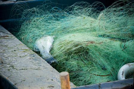 commercial fishing: two fish in a fishnet on a boat Stock Photo