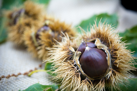 old desk: group of hedgehogs and chestnuts on blur background Stock Photo