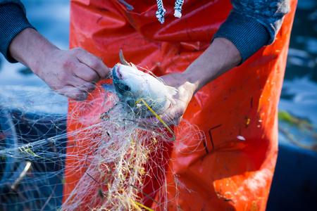 commercial fishing: fisherman while cleaning the fishnet from the fish at sunrise
