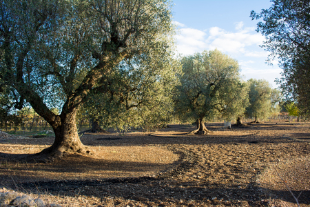 Piantagione d & # 39 ; oliva in campagna italiana in novembre con un sacco di olive sul terreno Archivio Fotografico - 89488022