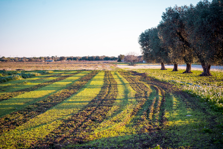 Italiaanse Olijvenbomen op Gebloeid Weidelandschap in Sunny Day Before Sunset in de Herfst op Duidelijke Hemelachtergrond