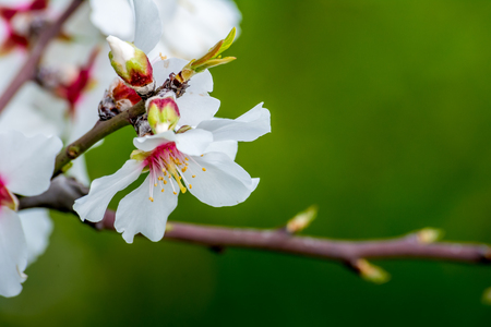 Horizontal View of Close Up of Flowered Almond Branch On Blur Green Background. Pulsano, Taranto, South of Italy