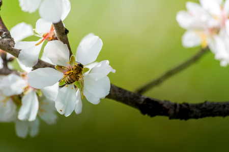 Horizontal View of Close Up of Flowered Almond Branch With a Bee Eating On Blur Background. Pulsano, Taranto, South of Italy