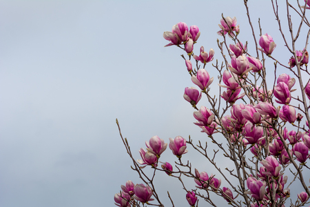 Horizontal View of Close Up of Flowered Magnolia Branch On Blur Background. Pulsano, Taranto, South of Italy