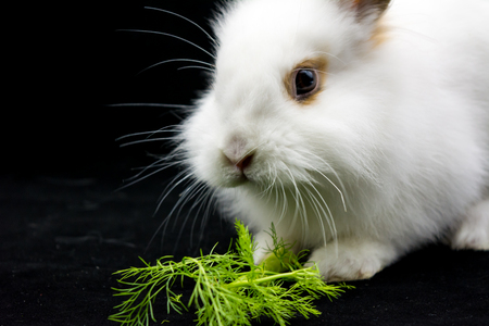 Horizontal View of Close Up of One Month Old White Dwarf Rabbit Eating Fresh Fennel Stock Photo
