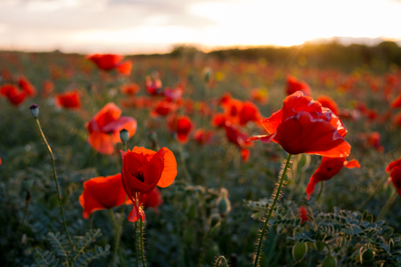 Horizontal View of Poppies Field Illuminated by the Setting Sun on Cloudy Sky Background. Pulsano, Taranto, South of Italy Foto de archivo