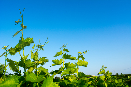 Close Up of Grapes in August Before the Grape Harvest