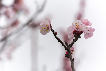 Almond Tree Flowers in a Cloudy Day on Blurred Background