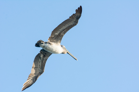 Close up of Pelican Bird Flying with Open Wings on Blue Sky Background