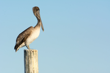 Close up of Pelican Bird Waiting on a Stilt on Blue Sky Background