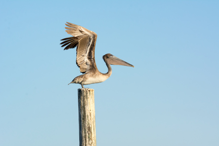 Close up of Pelican Bird Taking Flight Waiting with Open Wings on a Stilt on Blue Sky Background