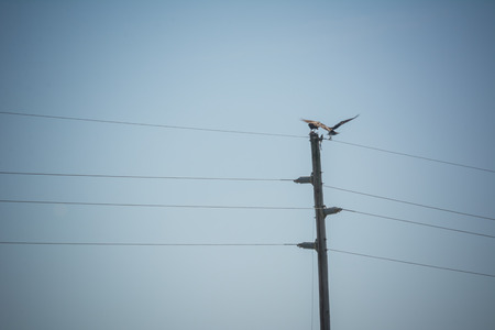 Close Up of Hawks Eating a Fish on the Top of Electricity Pole on Clear Sky Background