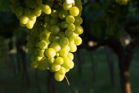 Close Up of Italian Grapes Before the Harvest in July at Sunset on Blur Background Stockfoto