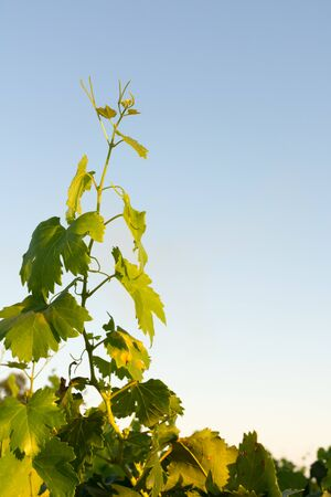 Close up of Vine Branches going Up Before the Harvest in July at Sunset on Clear Sky Background Stockfoto