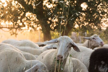 Close Up of Sheep Grazing at Sunset on July in Italy on Blur Background Stock Photo