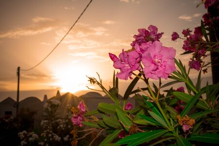 Close Up of Oleander Flowers at Sunset on Partially Cloudy Background