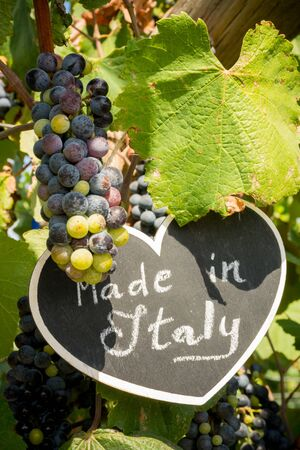 Vertical View of Close Up of Blackboard with the sentence Made in Italy in Blurred Plantation of Black Wine Grapes at Midday in August in Italy on Blur Background