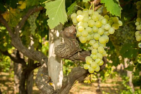 Horizontal View of Close Up of Plantation of White Table Grapes at Midday in August in Italy on Blur Background