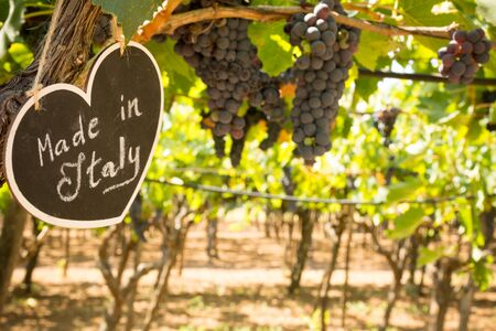 Horizontal View of Close Up of Blackboard with the sentence Made in Italy in Blurred Plantation of Black Wine Grapes at Midday in August in Italy on Blur Background