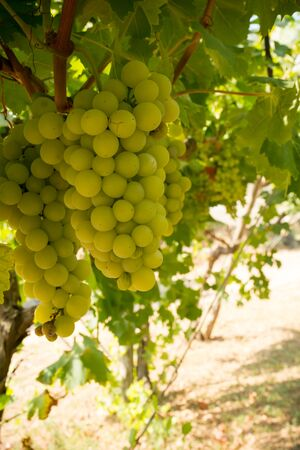 Vertical View of Close Up of Plantation of White Table Grapes at Midday in August in Italy on Blur Background