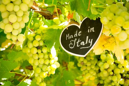 Horizontal View of Close Up of Blackboard with the sentence Made in Italy in Blurred Plantation of White Table Grapes at Midday in August in Italy on Blur Background