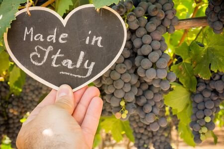 Horizontal View of Close Up of Hand Keeping Blackboard with the sentence Made in Italy in Blurred Plantation of Black Wine Grapes at Midday in August in Italy on Blur Background