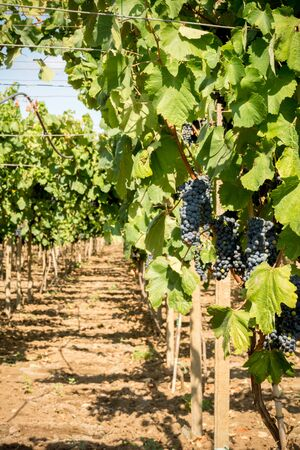 Vertical View of Close Up of Plantation of Black Wine Grapes at Midday in August in Italy on Blur Background