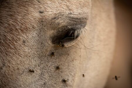 Close Up of Horse Eye Disturbed by Flies on Blurred Background Stockfoto