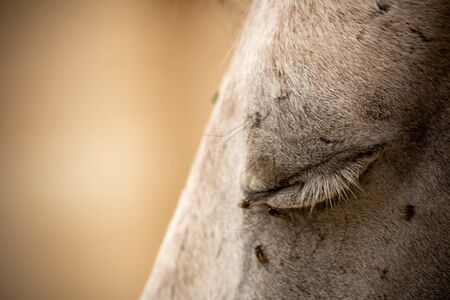 Close Up of Closed Eye of a White Horse Disturbed by Flies on Blurred Background. Stockfoto