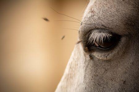Cerca de ojo de caballo perturbado por moscas sobre fondo borroso