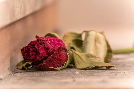 Withered Red Rose abandoned on a Tomb in Italian Cemetery on Blurred Background Reklamní fotografie