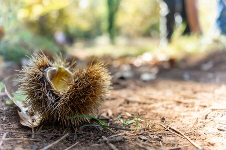 Chestnut Hedgehog on the Ground fallen by the Tree on Blur Background
