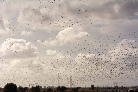 Flock of Starling in November in Italian Highway with Car Traffic on Cloudy sky Background