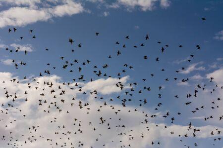 Flosk of Starling in November in Italian Countryside on Cloudy sky Background 版權商用圖片