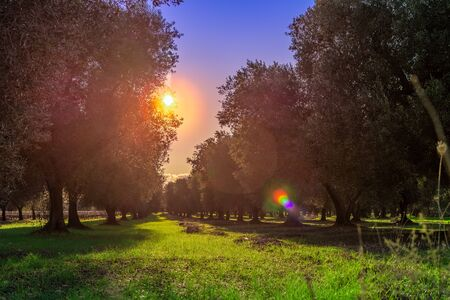 Olive Tree Plantation in Italian Countryside in Winter at sunrise 版權商用圖片