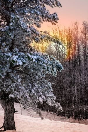 Branches of Pine Tree Covered by the Snow on Blurred Background at sunrise. Monte SIla in Winter. Basilicata, South of Italy 版權商用圖片
