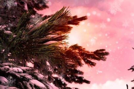 Close Up of the Branches of Pine Trees Covered by the Snow in Winter at  Sunrise and Blurred Snow Texture in Christmas Atmosphere. Sila Mountain, South of Italy