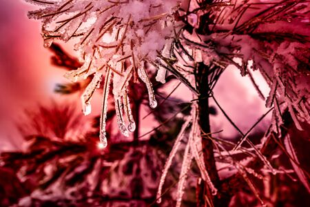 Close Up of Sparkling Light on Iced Pine Branches in Winter on Colored Blurred Atmosphere. Christmas Atmosphere