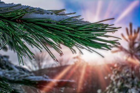 Close Up of Pine Tree Branch covered by the Snow that is melting on Colored Sunrays Background at Sunrise. Sila Mountain, South of Italy 版權商用圖片
