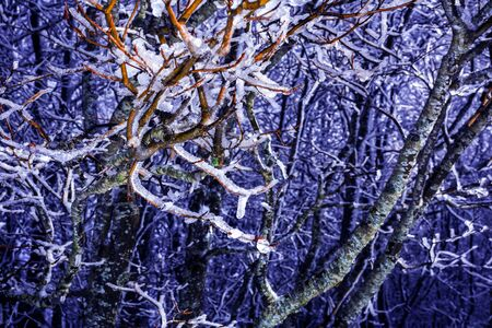 Winter Landscape with Trees Covered By Ice in the Moutains on Purple  Background. Sila, South of Italy