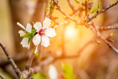 Spring Background with White Almond Flowers. Beautiful Natural Scene with Flowered Tree and Blurred Sunlight. Close Up of Almond Flowers on Blurred Background at Sunset or Sunrise