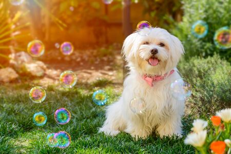 Small Maltese Puppy dog among Soap Bubbles in the Garden on Blurred Sun Flare Background. Concept of Friendship between Dog and Humans. Lovely Pet in the Garden